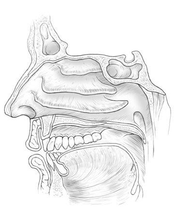 Nasal-Cavities-Line-Art